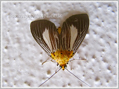 Asota heliconia (Aganaids, Tropical Tiger Moth, Snouted Tiger Moth), Sept 15 2015