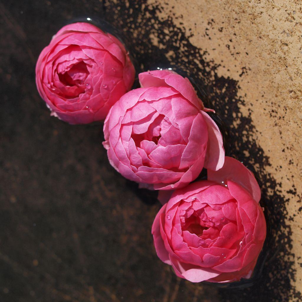 Rosen im Wasserbecken 1