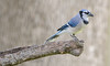 Blue Jay by Wildlife by Dennis King