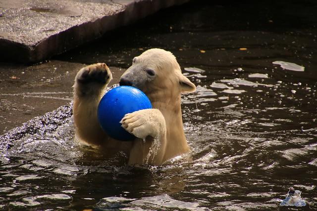 Eisbär Fiete im Zoo Rostock 19.09.2015 Teil 2  02