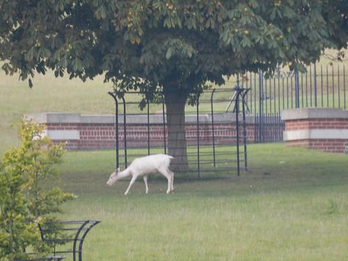 White deer neer Hambleden