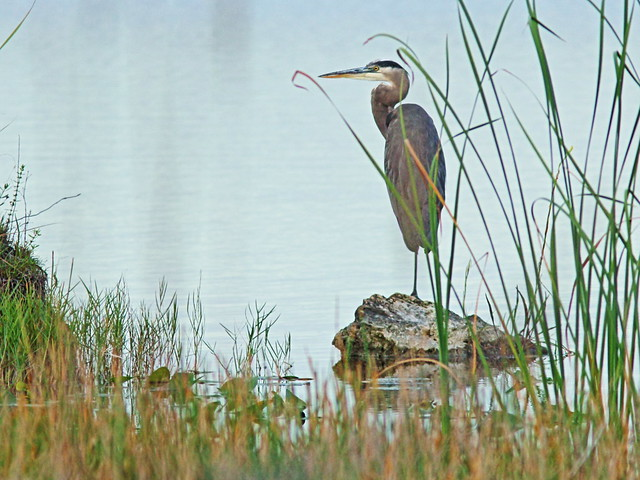 Great Blue Heron 20151027