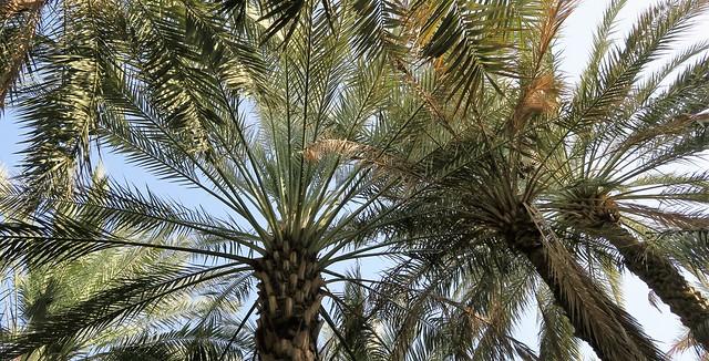 al ain oasis trees