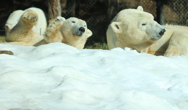 Polar Bears - Kalluk and Tatqiq