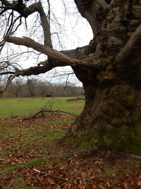 Knole Park tree