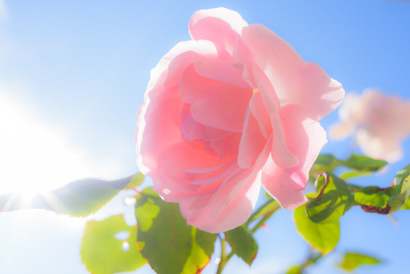 Pink rose in the warm sunshine