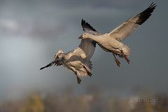 Oies des neiges / Snow Geese by DanSar49