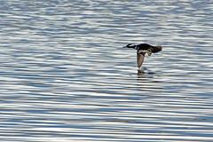 Merganser In Flight