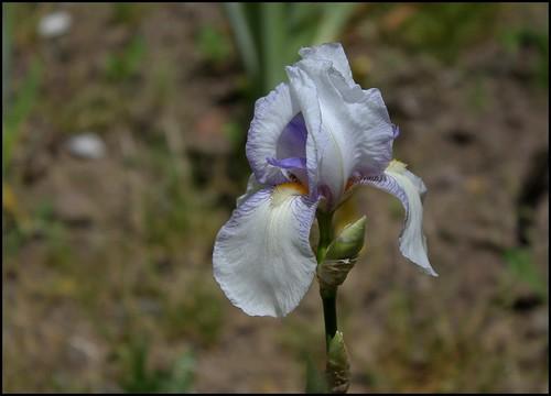 Iris Ma Mie (5)