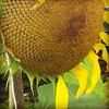#waitingtoharvest,#sunflowers,#sunnies,#wannaeattheseeds,#ripe,#naturalfoods,#gardening,#seeds. Wondering if the seeds will be fready soon.