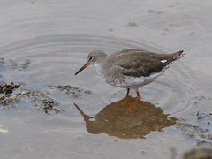 animal, charadriiformes, fauna, redshank, sandpiper, beak, bird, wildlife,