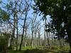 Dead Oak - Quercus petraea