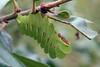 polyphemus caterpillar by myriorama