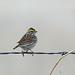 Savannah Sparrow, Pawnee Grasslands, Weld, Colorado by Terathopius