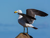 Pacific Gull by snuflor
