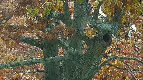 Oak boughs