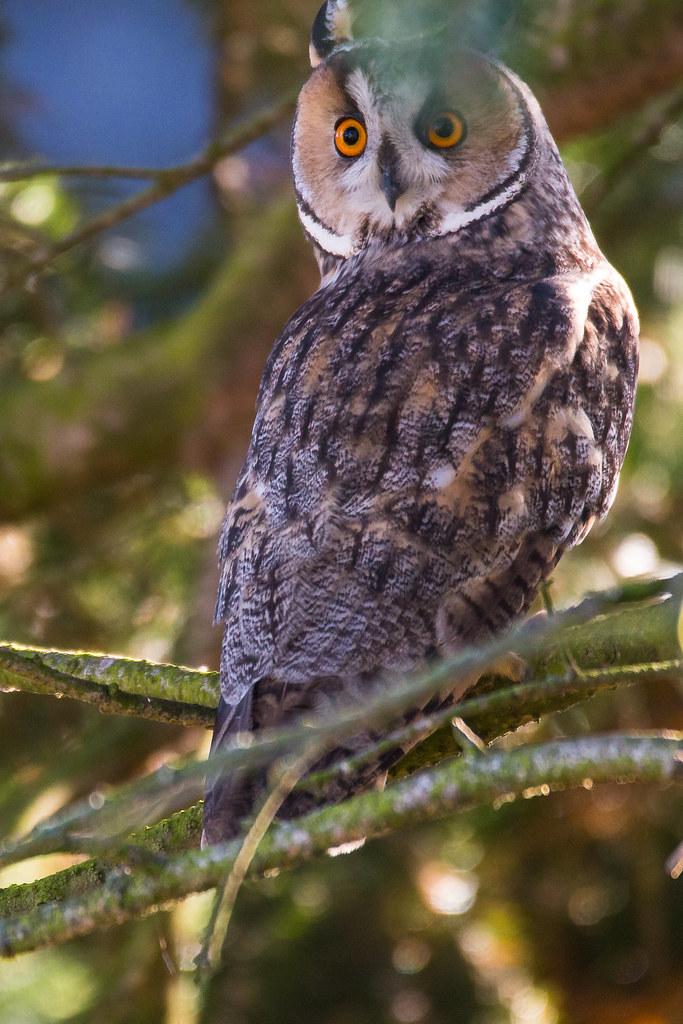 Waldohreule / Long eared owl