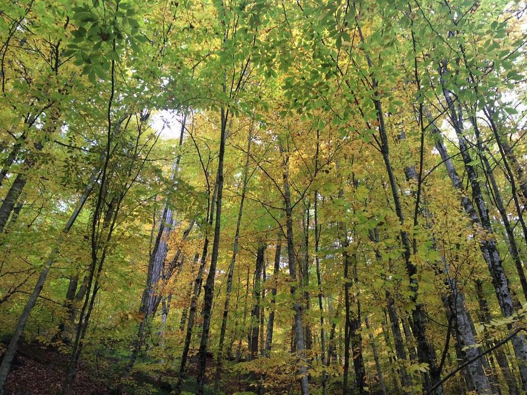 yedigöller_ağaçlar