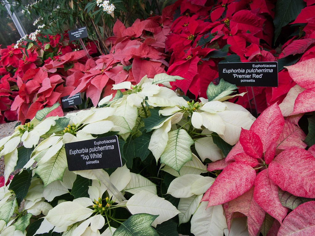 Poinsettias at U.S. Botanc Gardens