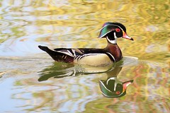 Wood Duck x 2