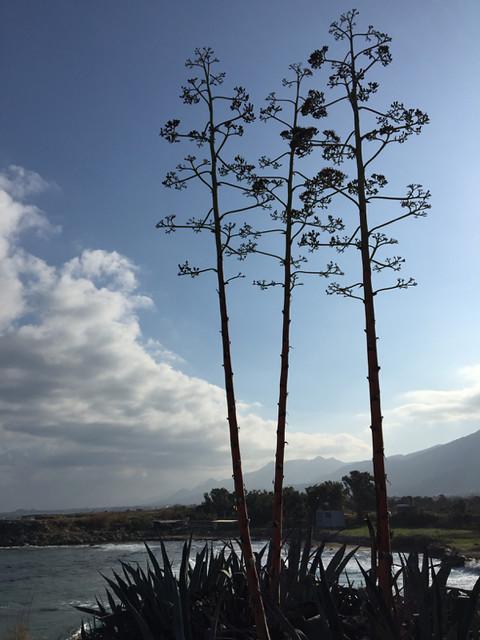 IMG_3759_Sardunya bay-agave
