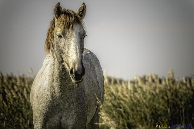 Horse in Camargue - portrait