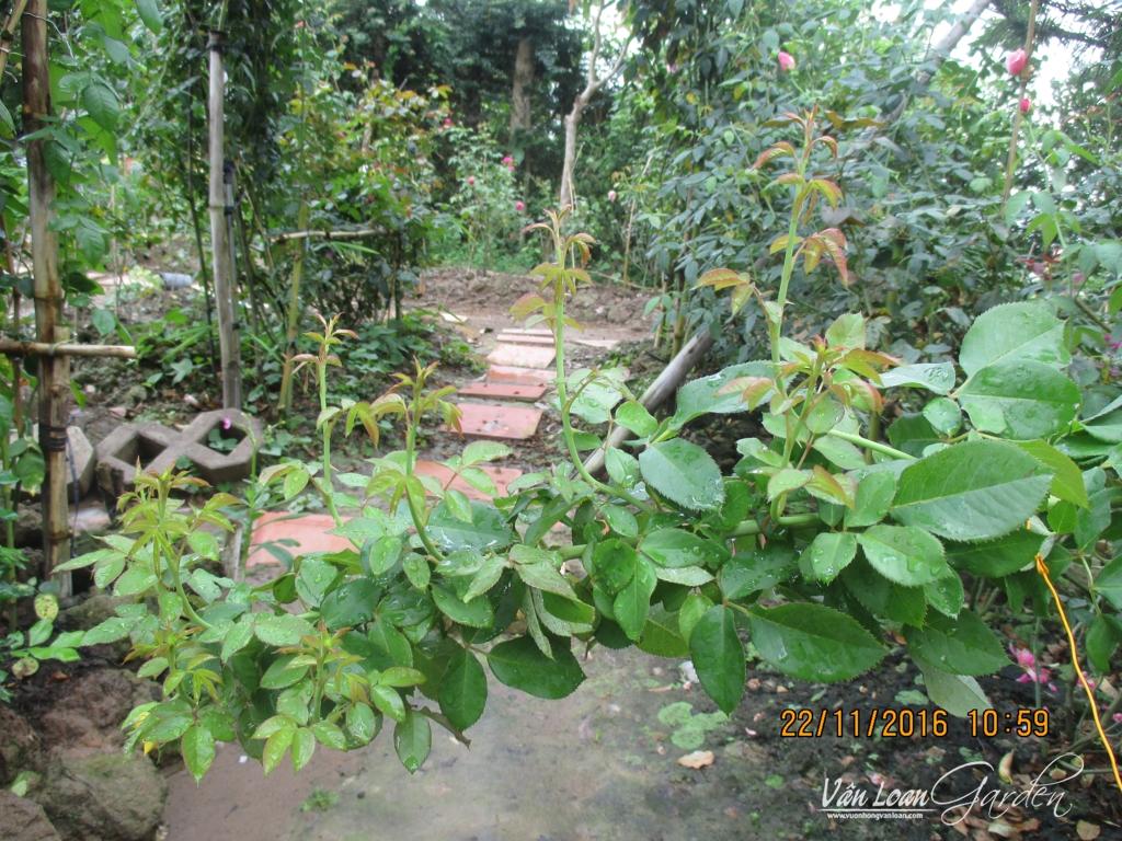 Cây hồng leo Honey đang mọc gần 10 tược non
