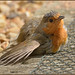 My Resident Robin (image 1 of 2)