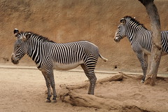 Grevy's Zebra at L.A. Zoo