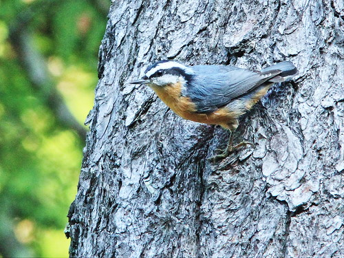 Red-breasted Nuthatch 2-20150905 - Copy