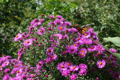 Monarch with the purple asters
