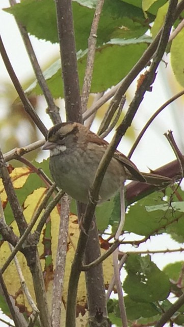 White-throated Sparrow. Nisqually NWR. Twin Barns cut-off.