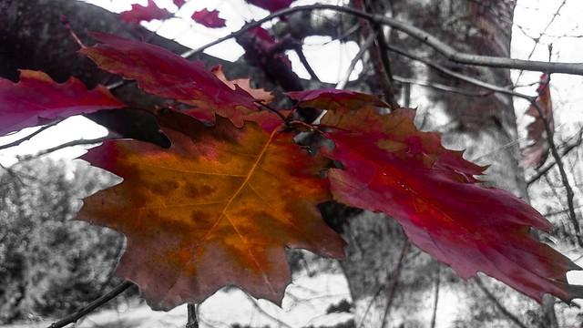 Follas de outono (Quercus rubra)