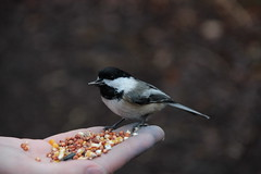 IMG_3042-Black-capped Chickadee at Mendon Ponds Park