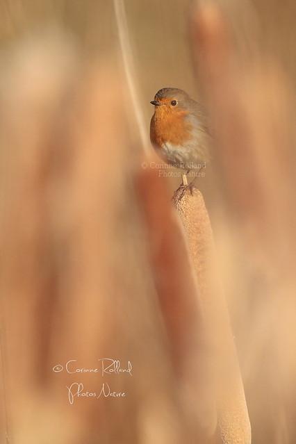 Rougegorge familier ( Erithacus rubecula ) - European Robin #1314