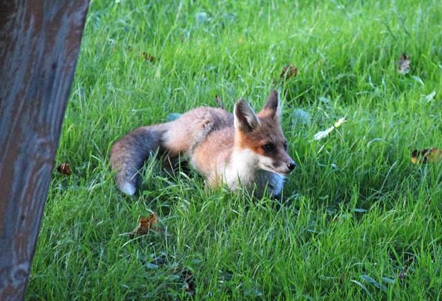 Relaxing Fox