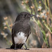 Black Phoebe 20161115_2475 by GORGEous nature