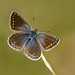 Common Blue Polyommatus icarus by Iain Leach