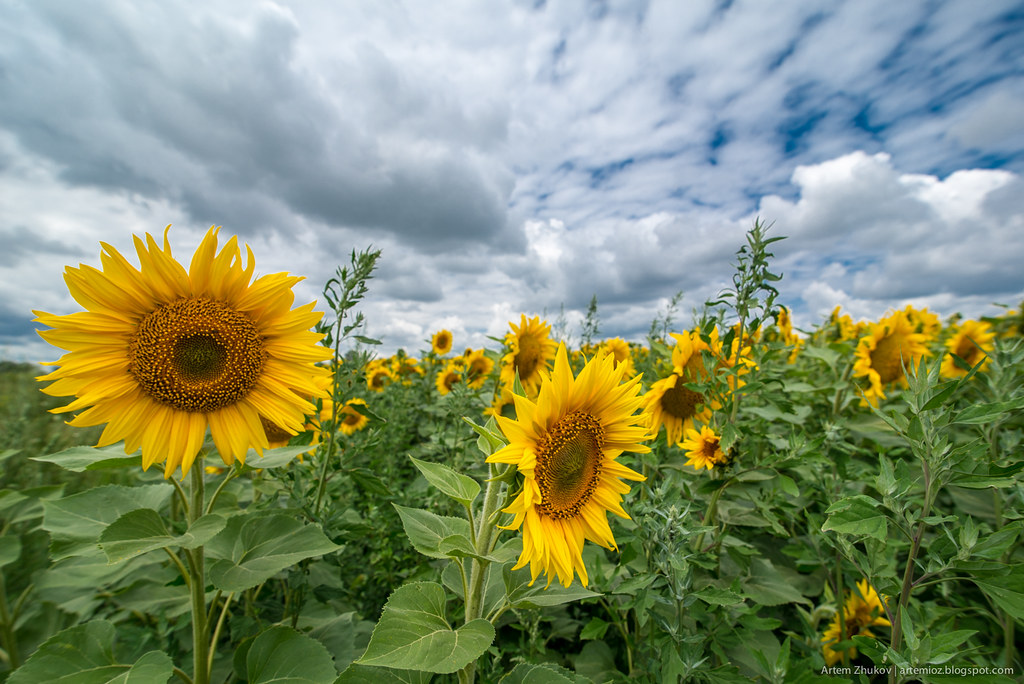 Sunflowers-1.jpg