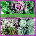 Ornamental Kale & Cabbage—Brian Wheat, AAF, PFCI, of Lafayette Florist, Gift Shop & Garden Center in Lafayette, Colorado