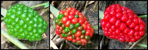 jack berries