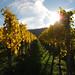 Autumn Sunlight in the Vineyard - Fellbach, Germany by Batikart