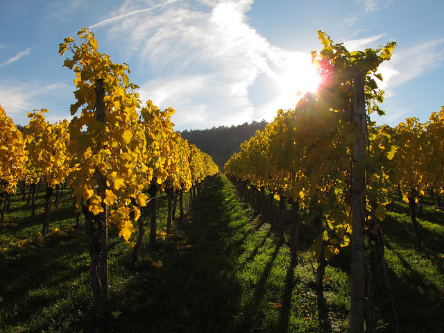 Autumn Sunlight in the Vineyard - Fellbach, Germany