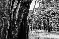 Broken Cedar