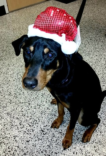 Doberman Puppy in a Santa Hat - Lapdog Creations