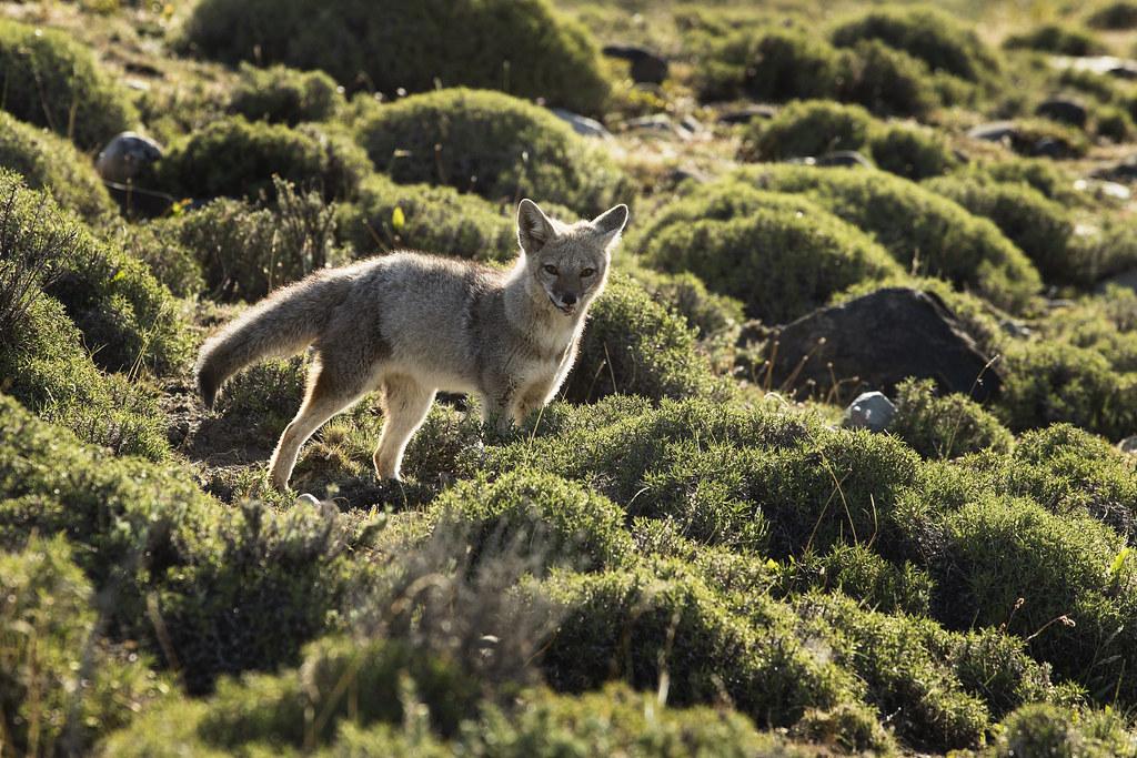 Patagonian Fox (Lycalopex griseus)