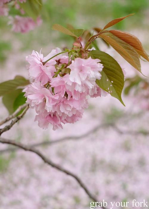 Pink sakura cherry blossoms at Matsumae Castle in Hokkaido, Japan