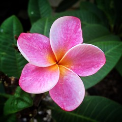 Halfway through October and the final plumeria bloom of the season from all my plants. It's been a tuff year for my plumeria. They have been moved away from the ocean where they were in direct sunlight all day. Now they are in a much hotter dry climate wi