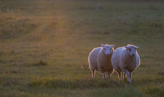 Lambs in Sunset Light