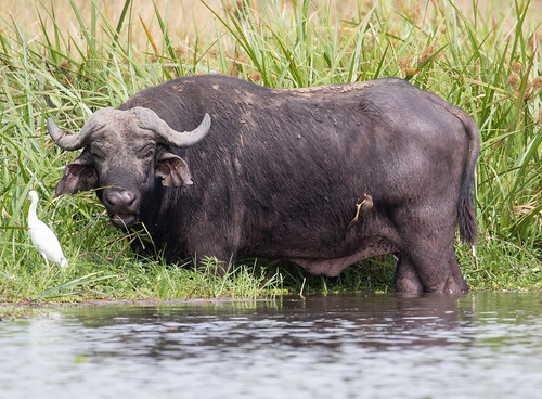 African Buffalo and Yellow-billed Oxpecker, and a Cattle Egret too.